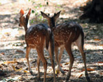 Two Deers Couple - Public Domain Pictures