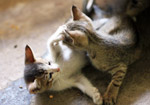 Two Kittens Cats Playing - Public Domain Pictures