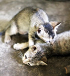 Two Kittens Playing - Public Domain Pictures