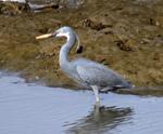 Gray Bird 2 - Public Domain Pictures
