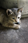 Kitten Very Cute - Public Domain Pictures