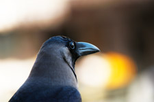 Crow Closeup - Public Domain Pictures