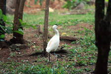 363-egret-heron-bird-walking - Public Domain Pictures