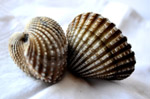 Shells 2 - Public Domain Pictures