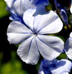 Blue Flower - Public Domain Pictures