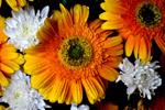 Daisy Flower - Public Domain Pictures