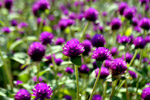 Garden Purple Flowers - Public Domain Pictures