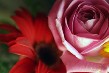 Pink Rose With Red Daisy Background - Public Domain Pictures