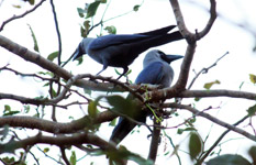 375-two-crows-on-branch - Public Domain Pictures