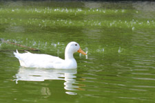 377-white-duck-in-greenish-water - Public Domain Pictures