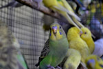 Birds Colorful In Cage - Public Domain Pictures