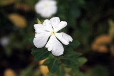 White Flower - Public Domain Pictures