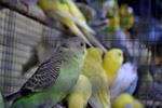 Lots Of Birds In Cage - Public Domain Pictures