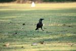 Crow Grass - Public Domain Pictures