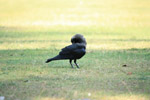 Crow Scratching - Public Domain Pictures