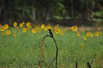 Bird In Sunflower Garden - Public Domain Pictures
