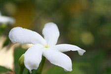 Crape Jasmine Flower - Public Domain Pictures