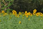 Sunflower Garden - Public Domain Pictures