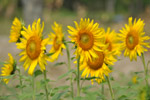 Sunflowers Beautiful Flowers - Public Domain Pictures