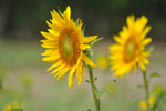 Sunflowers Couple Beautiful - Public Domain Pictures