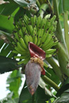 Banana Tree - Public Domain Pictures