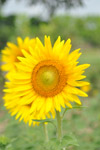 Beautiful Sunflower - Public Domain Pictures