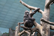 411-gorilla-in-a-zoo - Public Domain Pictures