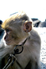 Captive Monkey 2 - Public Domain Pictures