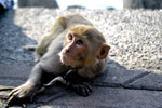 Captive Monkey - Public Domain Pictures