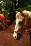 Horses - Public Domain Pictures