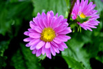 Pink Flowers - Public Domain Pictures