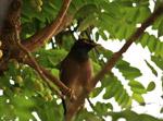 Myna Bird - Public Domain Pictures