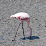 Flamingo - Public Domain Pictures