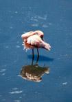 Flamingo Bird - Public Domain Pictures