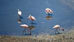 Flamingos - Public Domain Pictures