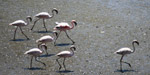 Flamingos - Public Domain Pictures