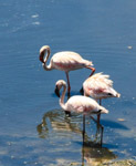Flamingos Birds - Public Domain Pictures