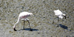 Flamingos In Sewri Mumbai - Public Domain Pictures