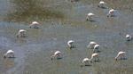 Flamingos Standing - Public Domain Pictures