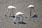 Flamingos Three - Public Domain Pictures