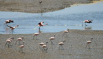 Flamingos Water Ground - Public Domain Pictures