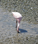Sewri Flamingo - Public Domain Pictures