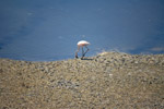 Solitary Flamingo - Public Domain Pictures