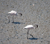 Two Flamingos - Public Domain Pictures