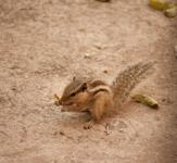 Squirrel - Public Domain Pictures