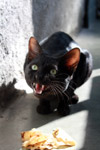 Angry Black Cat - Public Domain Pictures