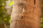 Squirrel Climbing Down Tree - Public Domain Pictures