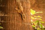 Squirrel Coconut Tree - Public Domain Pictures