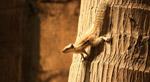 Squirrel Coconut Tree Climb - Public Domain Pictures