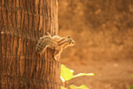 Squirrel Coconut - Public Domain Pictures